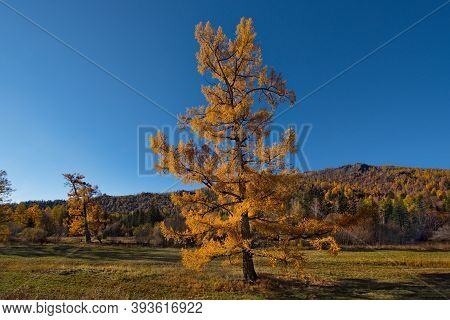 Russia. Mountain Altai. Lone Relict Larch Trees Along The Chui Tract Near The Seminsky Pass.