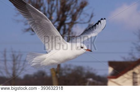 Black-headed Gull In Flight In Cold Winter In City. Wild Bird In Flight In Cold Winter. Flying Black
