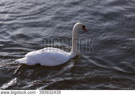 Single White Swan Floating On Water Surface. Wild Bird In Cold Winter On Cold Freezing Water Surface