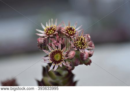 The Hens And Chicks Plant Bloomed In Close-up