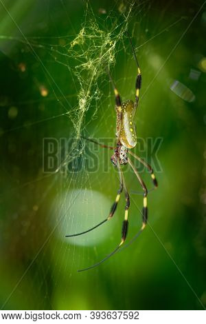 Golden Silk Orb-weaver - Trichonephila Clavipes Formerly Nephila Clavipes, Species Of The Genus Tric