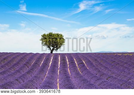 Lavender Fields In Valensole In South Of France