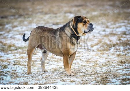 Ca De Bou (mallorquin Mastiff) Male Dog Stands Outdoors. Close-up Portrait Of Ca De Bou Dog