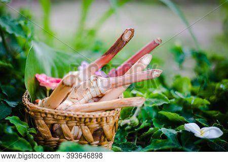 Thai Fresh Galangal Natural Thai Herbal In Bamboo Basket