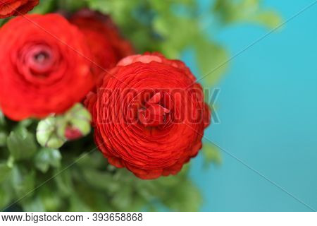 Ranunculus Flower.buttercup Flowers.floral Background.bright Red Flowers On A Bright Blue Background