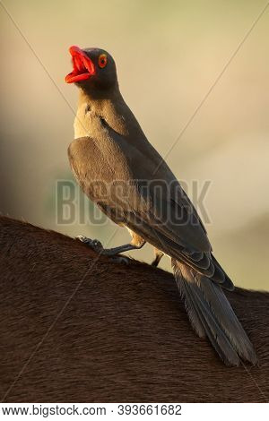 The Red-billed Oxpecker (buphagus Erythrorhynchus) With Open Beak