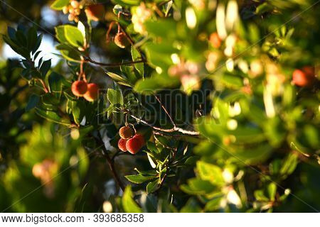 A Strawberry Tree (arbutus Unedo) With Mature Fruits. Arbutus Unedo Is An Evergreen Plant Typical Of