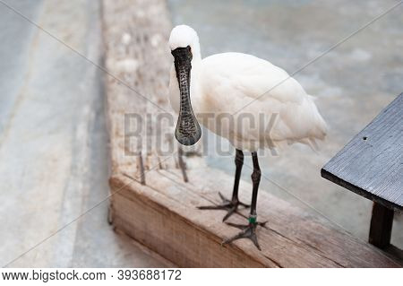 The Exotic Bird Black-faced Spoonbill (platalea Minor) Standing With Watchful Eyes. Copy Space.