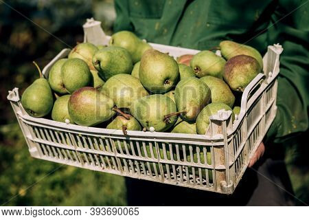 Fresh Pears In Men's Hands. Juicy Fragrant Pears In A Box, Basket. The Collection Of Pears.