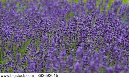 Flowering Lavender Plant In The Field. Vegetable Background