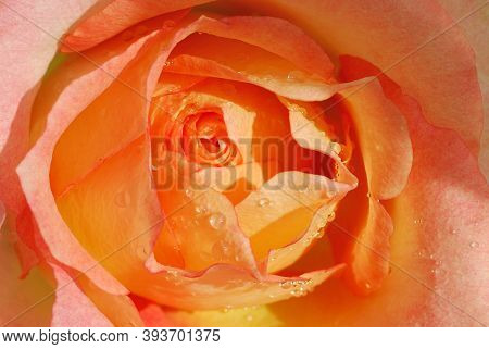 Very Beautiful Delicate Light Rose Close Up Covered With Water Droplets