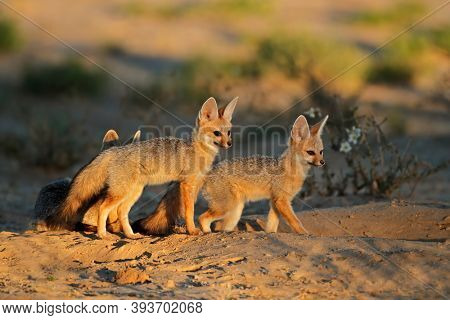 Cape foxes (Vulpes chama) at their den in early morning light, Kalahari desert, South Africa