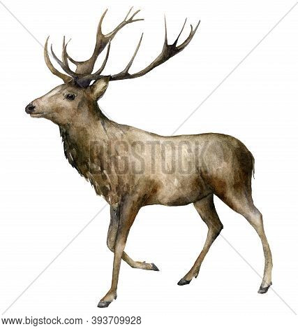 Watercolor Christmas Male Deer With Horns. Hand Painted Wild Animal Isolated On White Background. Re