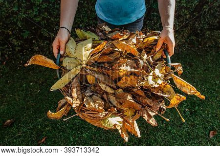 Girl Holding Basket Full Of Fallen Leaves. Cleaning Lawn From Leaves During Autumn Season.autumnal W