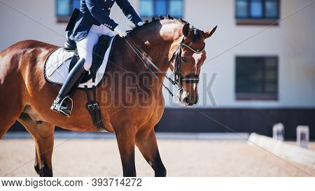 A Beautiful Sporting Bay Horse With A Bridle On Its Muzzle And A Rider In The Saddle Participates In