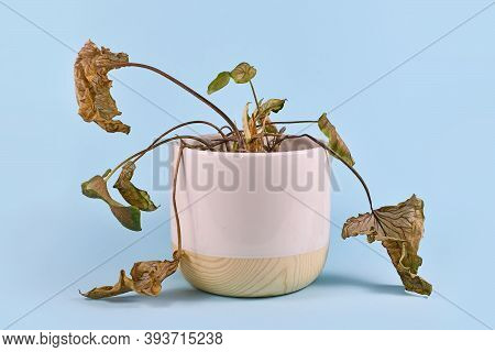 Neglected Dying House Plant With Hanging Dry Leaves In White Flower Pot On Blue Background