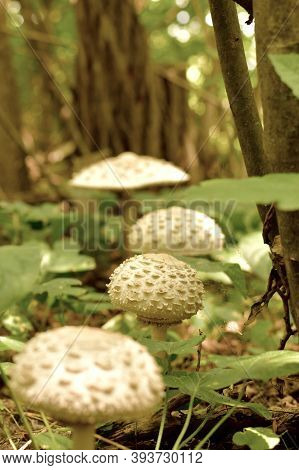 A Glade With A Path Of Light Scaly Mushrooms In Summer.