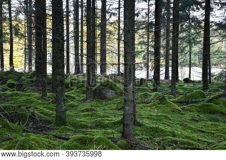 Mossy Green Spruce Tree Forest In Fall Season