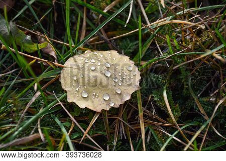 Fallen Aspen Leaf With Water Drops On The Ground