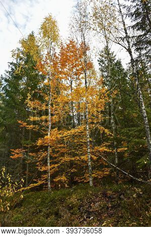 Fall Season With Colorful Beech Trees In A Green Coniferous Forest