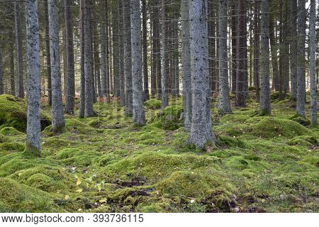 Beautiful Green Moss In An Untouched Spruce Tree Forest