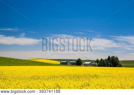 Blooming Yellow Canola Field And Farmland With Deep Blue Sky In Summer, In Palouse, Washington, Usa