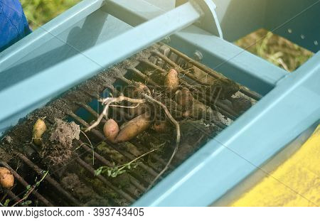 Potato Tubers Are Dug Out Of Ground On A Conveyor Belt Of Digging Equipment Machine. Harvesting Vege