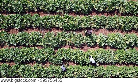 Zucchini Garden. Farmers Picking Ripe Zucchini. Agriculture Harvest Season.