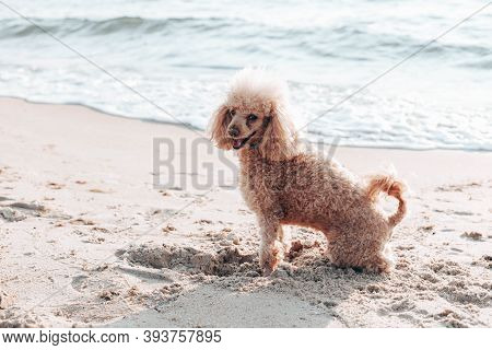 Red Haired Poodle Dog Sits And Looks Into The Camera On The Beach Near The Sea On A Sunny Day