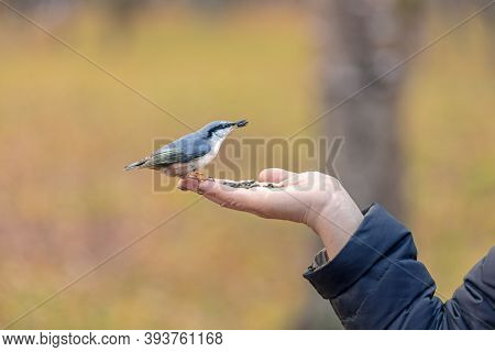 A Wild Bird Pecks Seeds From A Human Hand, Take Care Of Wintering Birds, A Nut Fly Sits On The Palm,
