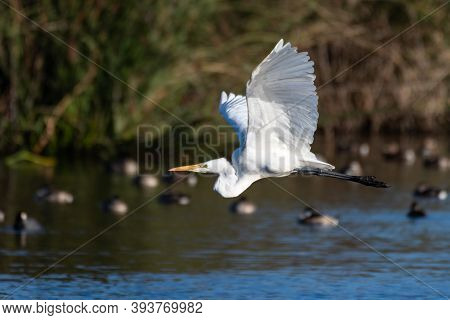 Snow White Egret Flaps White Feather Wings While Gliding Over Pond Surface Past Floating Ducks.