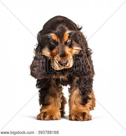 Brown English cocker spaniel dog isolated on white