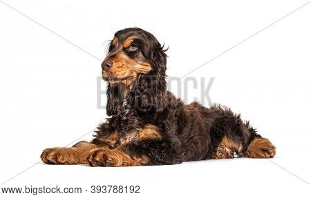 Lying Brown English cocker spaniel dog isolated on white