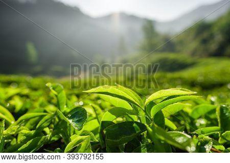Tea plantations in Munnar, Kerala, India. Fresh tea leaves close up at tea plantation.