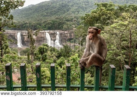 Wild macaque monkey with Athirappilly waterfalls at background in Kerala, India