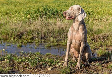 Sitting Weimaraner On A Green Field. Hunting Dog On A Autumn Meadow. Autumn Sunny Morning On The Hun
