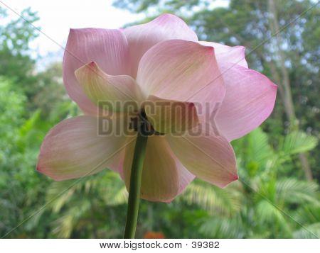 Underneath A Lotus Flower