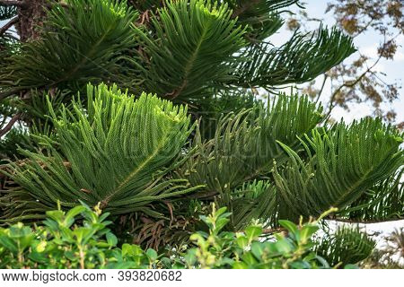 Texture With Needles Of Exotic Tropical Coniferous Araucaria Heterophylla Tree, Close-up. Natural Gr