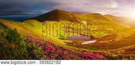 Pink rhododendron flowers on a sunny day. Location Carpathian mountains, Ukraine, Europe. Art photo of nature. Scenic image of the exotic place. Natural wallpaper. Discover the beauty of earth.