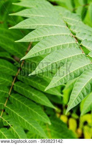Colorful Green Leaves Of Mediterranean Sumac Plant. Close-up Of Branches With Oblong Leaves. Creativ