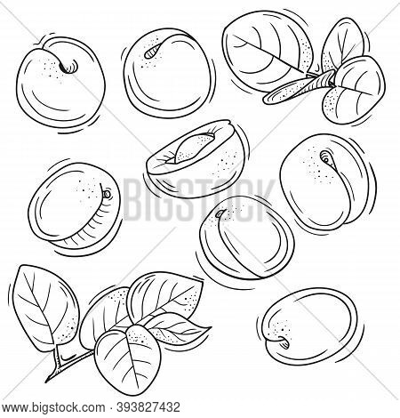 Vector Illustration Of Apricot In Doodle Style. Outline Drawing Of An Apricot. The Minimalistic Desi