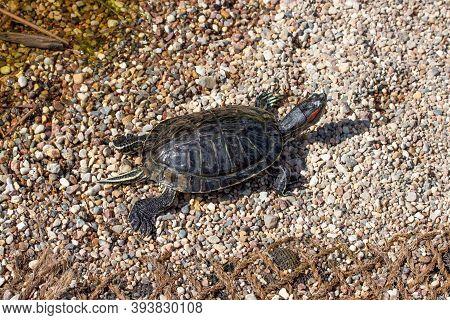 Little Trachemys Scripta Turtle On A Pebble Beach, Wild Turtle Crawling Along The Shore, Horizontal