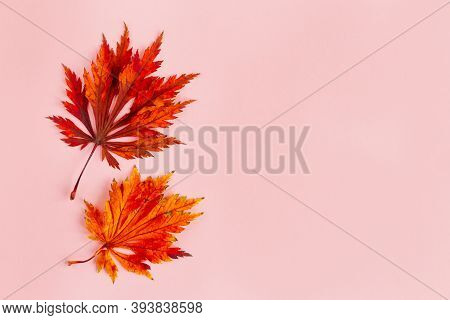 Beautiful Red Leaves Of A Japanese Maple On A Light Pink Background. Autumn Background. Flat Lay. Pl