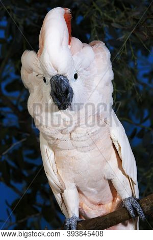 Salmon-crested Cockatoo Or Moluccan Cockatoo, Cacatua Moluccensis, Adult Singing