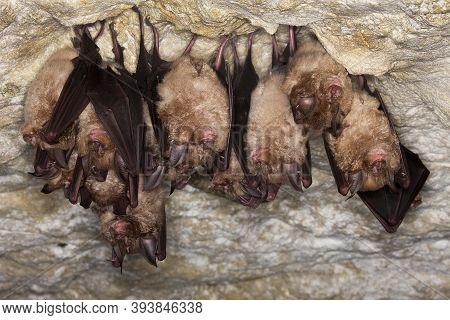 Greater Horsehoe Bat, Rhinolophus Ferrumequinum, Colony Hibernating In A Cave, Normandy