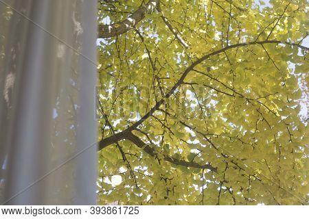 Yellow Ginkgo Leaves Seen Outside The Window.