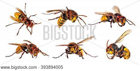 Set Of European Hornet In Latin Vespa Crabro Isolated On White Background