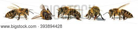 Set Of Five Bees Or Honeybees In Latin Apis Mellifera, European Or Western Honey Bee Isolated On The