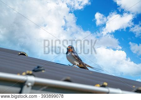 Adult Swallow Bird On A Roof In The Summer With A Blue Sky Ind The Background