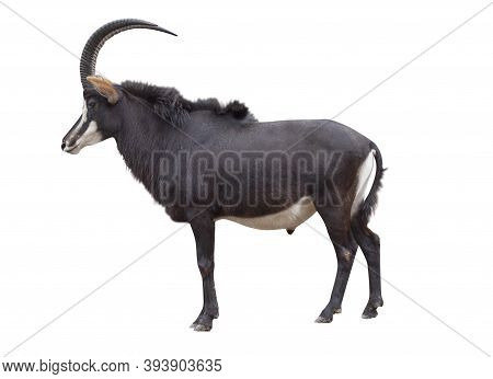 The Sable Antelope Is An Antelope Which Inhabits Wooded Savanna In East And Southern Africa. In Lati